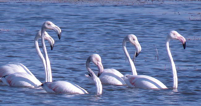 Flamingolar, Beyşehir Gölü'nde mola verdi