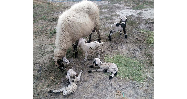 Konya'da bir koyun beşiz doğurdu
