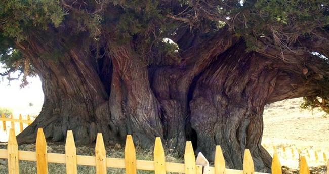 Dünyanın en yaşlı ikinci ağacı Konya'da