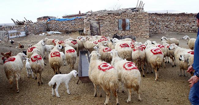 Konyalı Besici Koyunlarının Sırtına Türk Bayrağı Çizdi