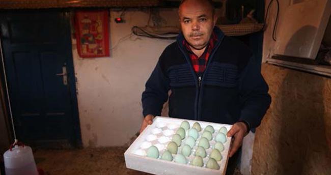 Mavi yumurta almak için 2 ay bekliyorlar!