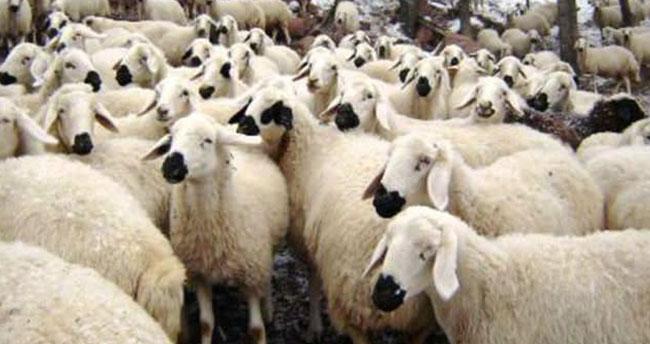 Kuzu etinde ithalat sinyali, sektörü kızdırdı