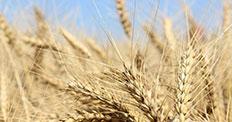 İklim değişikliği buğdayda üretim kaybına yol açtı
