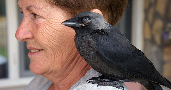 Bu Karga Kendini Muhabbet Kuşu Sanıyor