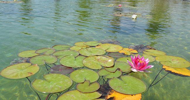 Karatay Şehir Parkı'nda nilüferler çiçek açtı