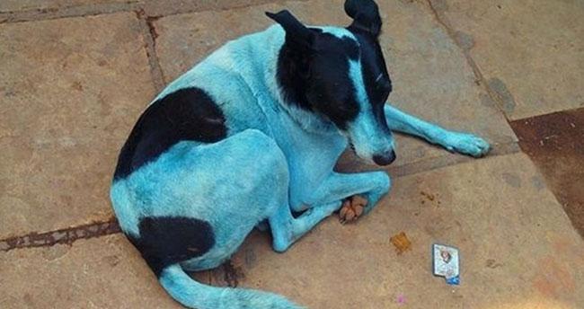 Sokaktaki başıboş mavi köpekler korku saçıyor!