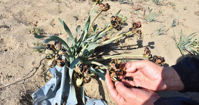 Bu bitkiyi koparmanın cezası 38 bin lira!