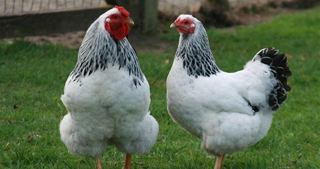 Konya Yumurta tavuğu sayısında ikinci oldu