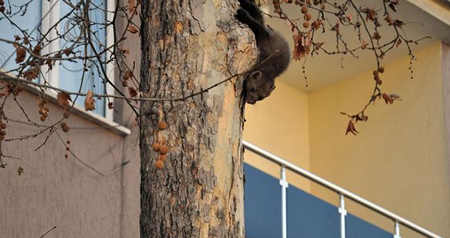 Ağaca çıkan sansar itfaiyeye zor anlar yaşattı