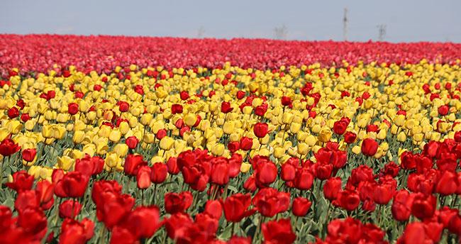 Konya Ovası milyonlarca lale ile rengarenk
