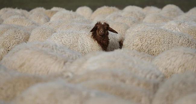300 koyun projesinin başlayacağı ilk il belli oldu