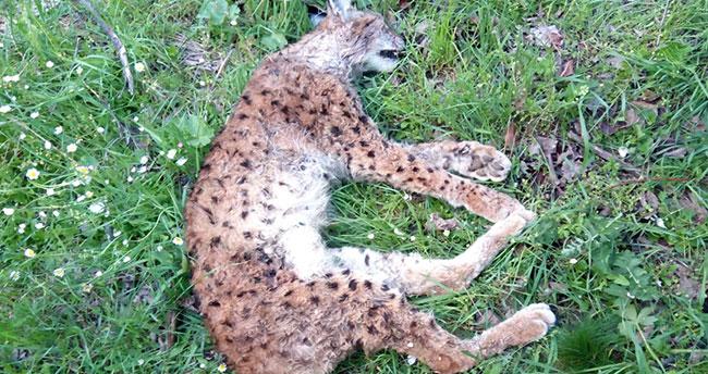 Konya'da av tüfeğiyle öldürülmüş vaşak bulundu