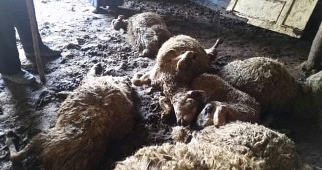 Ağıla giren kurtlar 20 koyunu telef etti