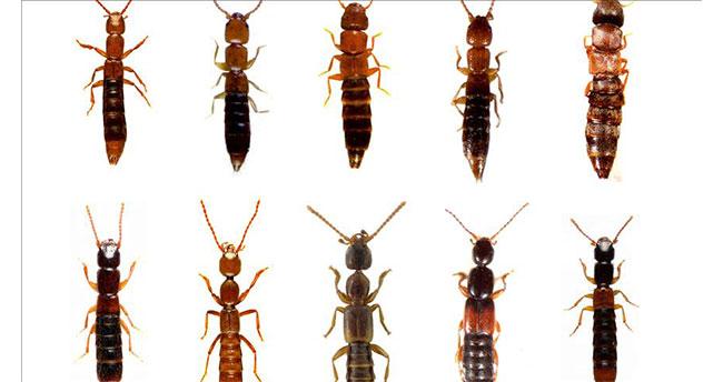 Konya'da yeni böcek türü bulundu
