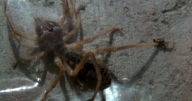 Konya'yı et yiyen 'Sarıkız' örümceği korkusu sardı