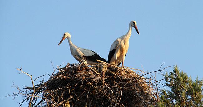 Leylekler büyük göç için yuvalarından uçacaklar