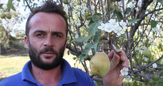 Konya'da armut ağacı eylülde çiçek açtı