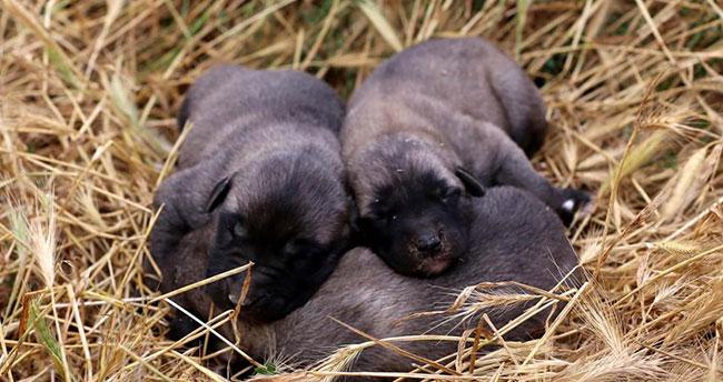 Kangal köpeklerinin yavrusunu yeme sebebi belli oldu