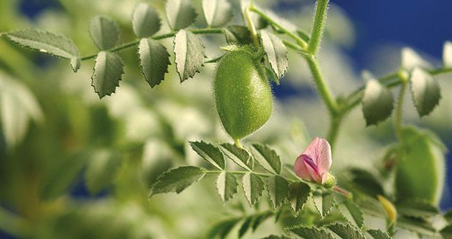 Bozkır'da üreticilere ücretsiz nohut ve Macar fiği tohumu dağıtılacak