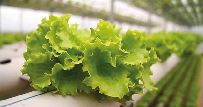 Zam şampiyonu kıvırcık salata