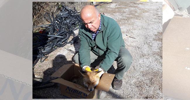 Konya'da bulunan hasta tilki koruma altına alındı
