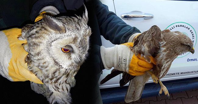 Yaralı şahin ve puhu kuşu koruma altına alındı