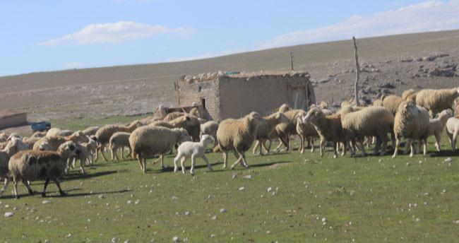Koyunlar meralarda otlatılmaya başlandı