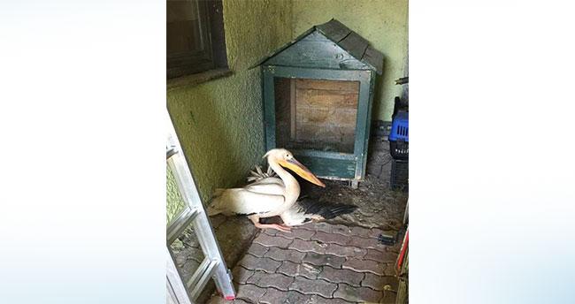 Konya'da bulunan yaralı pelikan tedaviye ediliyor