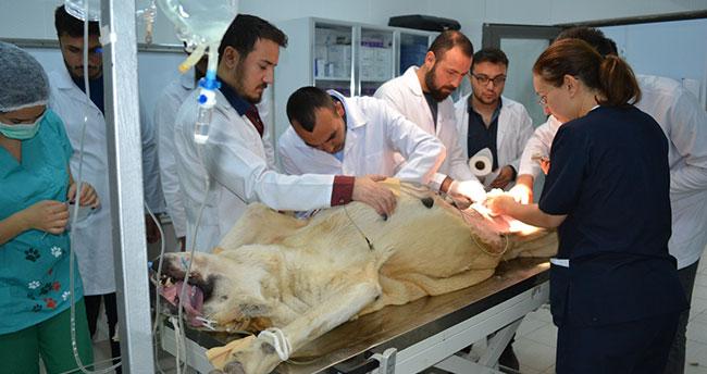 """""""Anadolu aslanı"""" ameliyat masasında"""