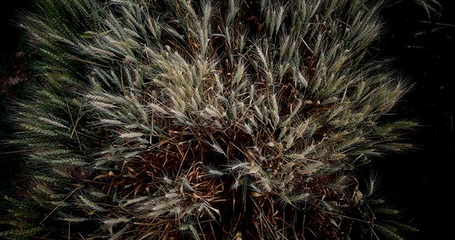 Konya'da geliştirilen kuraklığa dayanıklı buğdaylar tanıtıldı