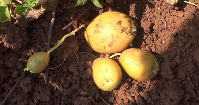Siirt'te İlk Kez Patates Üretimi Gerçekleşti