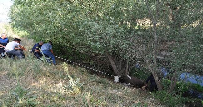 Konya'da sulama kanalına düşen inek kurtarıldı