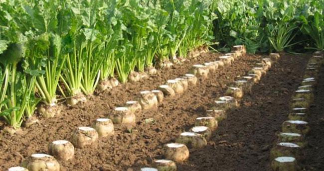 Karadrina zararlısı Konya Ovası'nda şeker pancarı üretiminde verimi düşürdü