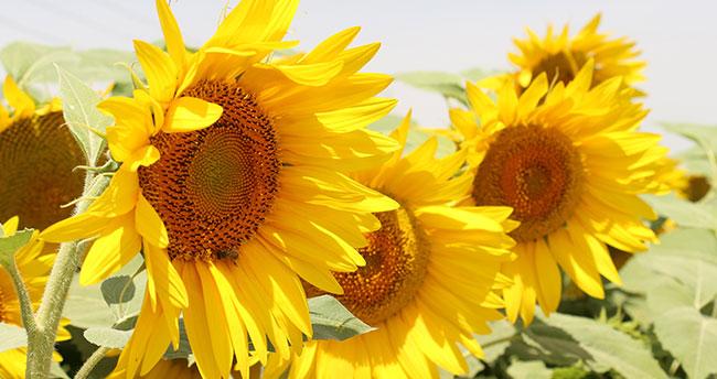 Konya Ovası, ayçiçeği üretiminin yüzde 20'sini karşılıyor