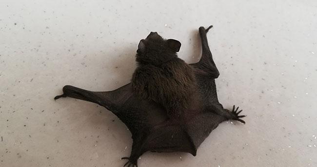 Karaman'da esnafların yerde bulduğu yarasa görünüşüyle korkuttu