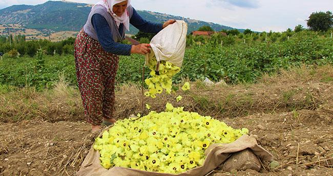 Amasya'nın tescilli 'çeyrek altın'ı: Çiçek Bamyası