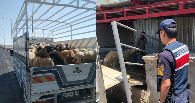 Konya'da jandarmanın denetiminde küpesiz koyun ele geçirildi: Para cezası…