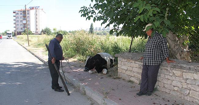 Konya'da kaçan kurbanlık iğne vurularak yakalandı