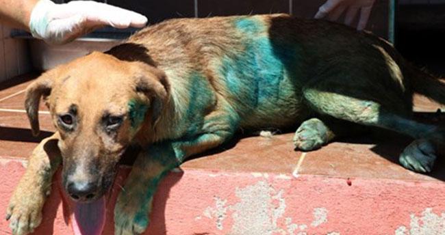 """Köpeğe akılalmaz işkence: Vücuduna jiletle """"it"""" yazdılar"""