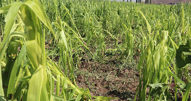 Aksaray'da 10 bin dekar ekili tarım arazisini dolu vurdu