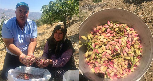 Karaman'da Antep fıstığı hasadı başladı