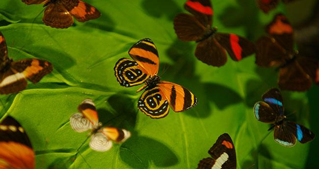 Konya Tropikal Kelebek Bahçesi'ne rekor ziyaretçi