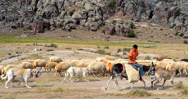 """Çin'in han koyunları """"Anadolu aslanı""""na emanet"""