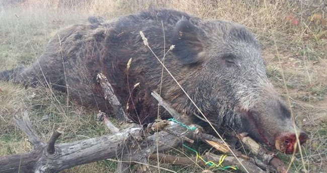 Ordu'da 270 kilogram ağırlığında yaban domuzu vuruldu