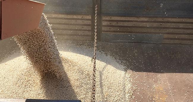 Konya fasulyesinde 53 bin tonluk rekolte bekleniyor