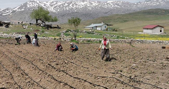 Konya'nın bu ilçesinde anavatanı Güney Amerika olan pepino yetiştirildi