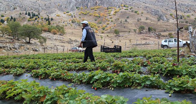 Konya'da çilek üreticisi zedelemeden çilek toplamak için sistem geliştirdi