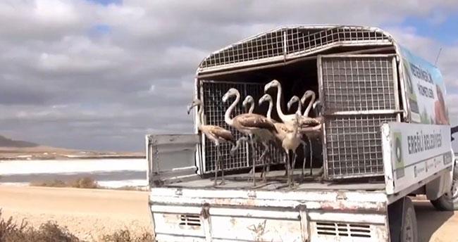 Konya'da satılmak istenen yavru flamingolar kurtarılarak göle bırakıldı