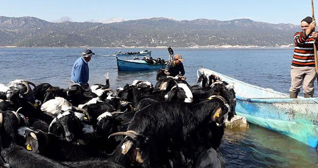 Yer: Konya! Keçi sürüleri adaya balıkçı tekneleriyle taşındı
