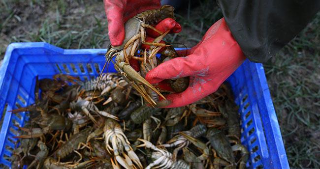 Konya'nın bu ilçesinde tatlı su ıstakozu balıkçıların geçim kaynakları oldu